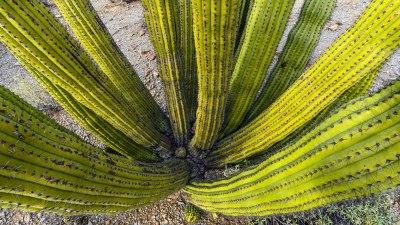 Organ Pipe Cactus Up-Close