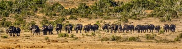 Addo Elephant NP - hat auch Büffel im Angebot