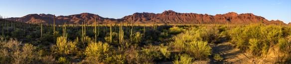 Saguaros und die Tucson Mountains