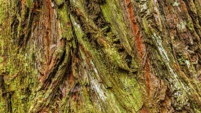 In den Redwood Wäldern von Nordkalifornien III