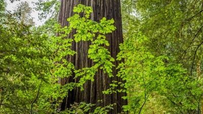 In den Redwood Wäldern von Nordkalifornien I