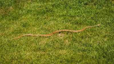 Bull Snake, Bennett, Colorado