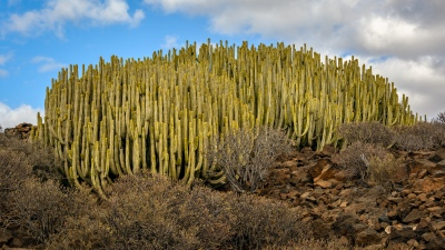 Euphorbia canariensis, Malpais de la Rasca