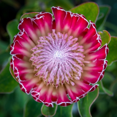 Königs-Protea