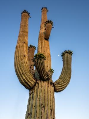 Saguaro im Abendlicht