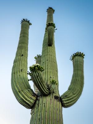 Saguaro im Morgenlicht