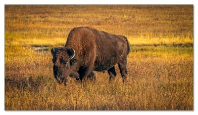 Einer der über 31,000 Bison Nordamerikas
