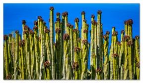 Euphorbia canariensis, Tenerife
