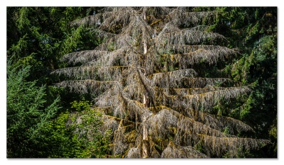Hoh Rainforest, Olympic NP, WA