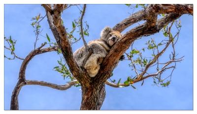 Koala, Raymond Island